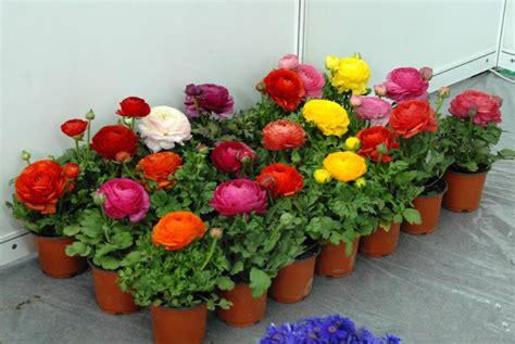 ranunculus flowers for sale typesofflower