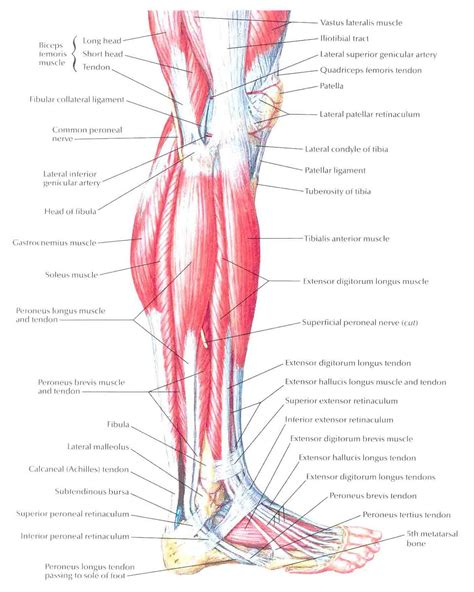 Leg Muscles Lateral View