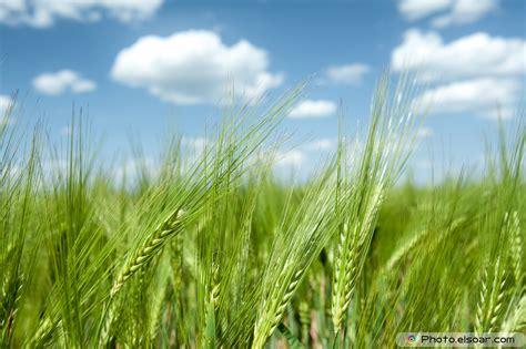 Green Wheat Fields In Pictures   ELSOAR
