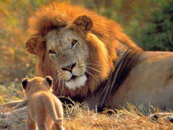west african lion facts  kids kidsanimalsfactscom