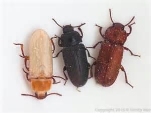 Cycle Life Mealworm Darkling Beetle