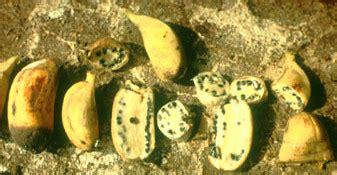 licoes da natureza  exemplo da banana