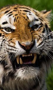 Tiger face 4K Wallpaper, Closeup, Big cat, Wildlife ...