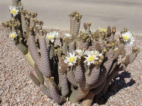 tephrocactus articulatus var diadematus world  succulents
