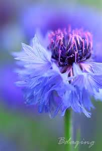 Purple Cornflower Flowers