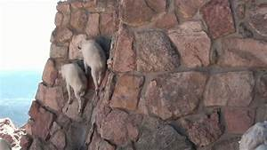 Cute! Baby Mountain Goats climb wall to get to Mama - YouTube