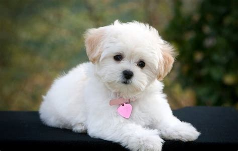 small dog breeds  apartments dog breeds
