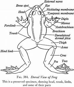 Frog Of Lungs With Labeling Diagram Frog Internal Anatomy