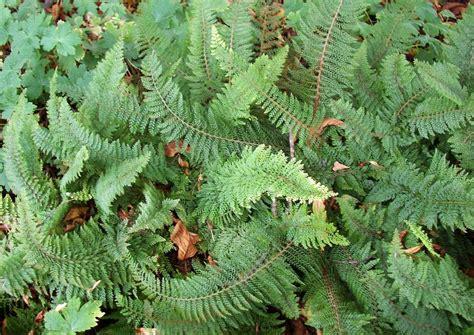 Farn Winterhart by Polystichum Setiferum Poliferum Schildfarn Immergr 252 Ner Farn