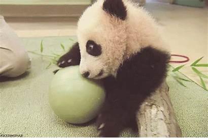 Panda Gifs Ball Playing Cutest Animals Cub