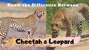 Major Difference Between Cheetah And Leopard