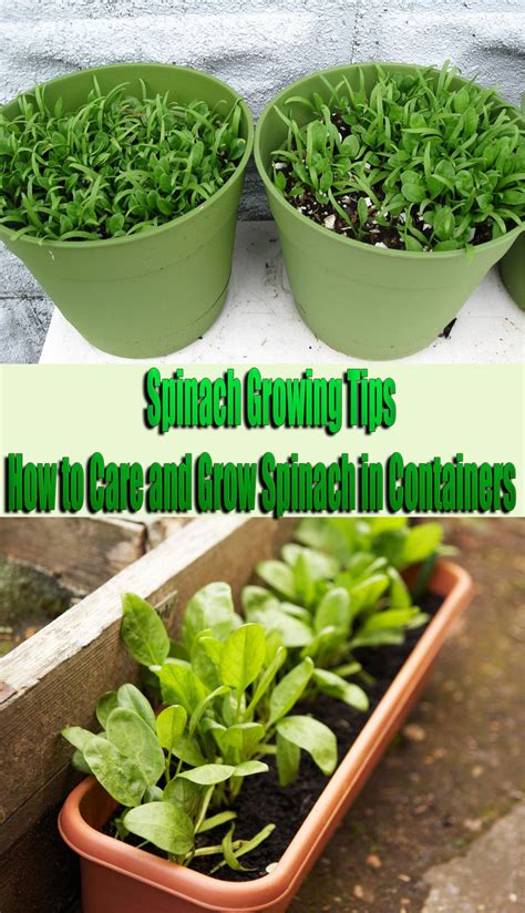 Spinach Growing Tips How To Care And Grow Spinach In