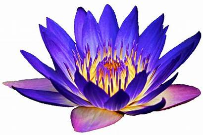 Lily Clipart Purple Water Lotus Waterlily Lilies