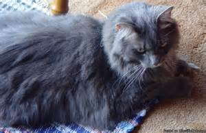 cat rentals me free maine coon haired grey cat price help