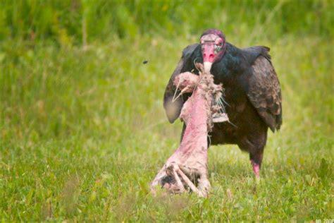 vulture eating human