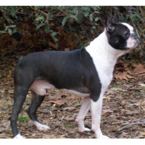 Bestbostonterrierpuppies Boston Terrier Breeder In
