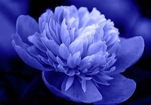 Blue Peony Photograph by Sandy Keeton