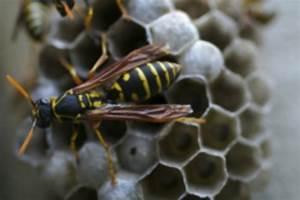 Nid De Guepe Dans Le Toit : nid de gu pes o le trouver et comment le d truire insecticides kapo ~ Medecine-chirurgie-esthetiques.com Avis de Voitures