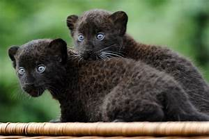 Twin panther cubs , baby black panther , Tierpark Zoo in ...