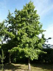 Amberbaum Oktoberglut Preis : liquidambar styraciflua 39 lane roberts 39 amberbaum 39 lane ~ Michelbontemps.com Haus und Dekorationen