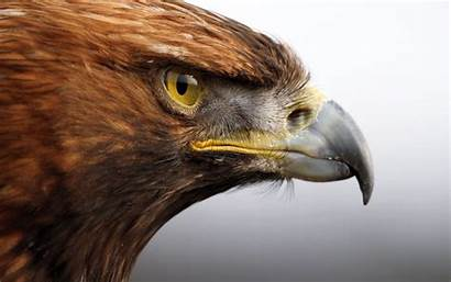 Eagle Golden Wallpapers 3d Eye Desktop 4k