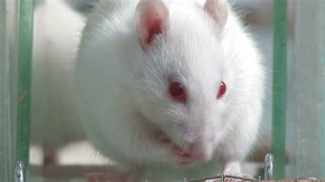 Animal Bon Dormeur by Rat D Ego 251 T Exp 233 Rience Laboratoire Hd Collection Stock
