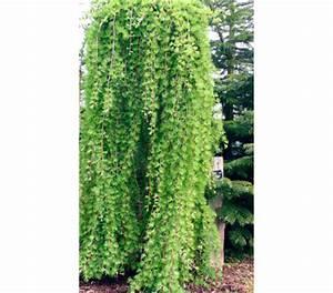 Winterharte Kübelpflanzen Schattig : japanische l rche hochstamm pflanzen f r nassen boden ~ Michelbontemps.com Haus und Dekorationen
