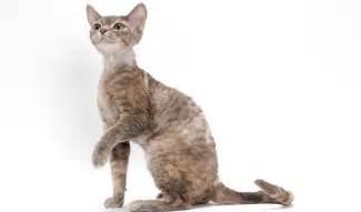 rex cats rex cat breed information