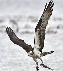 Successful NY osprey comeback story now includes rise in ...