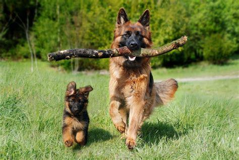 German Shepherd Grooming: Tips for Brushing & Trimming