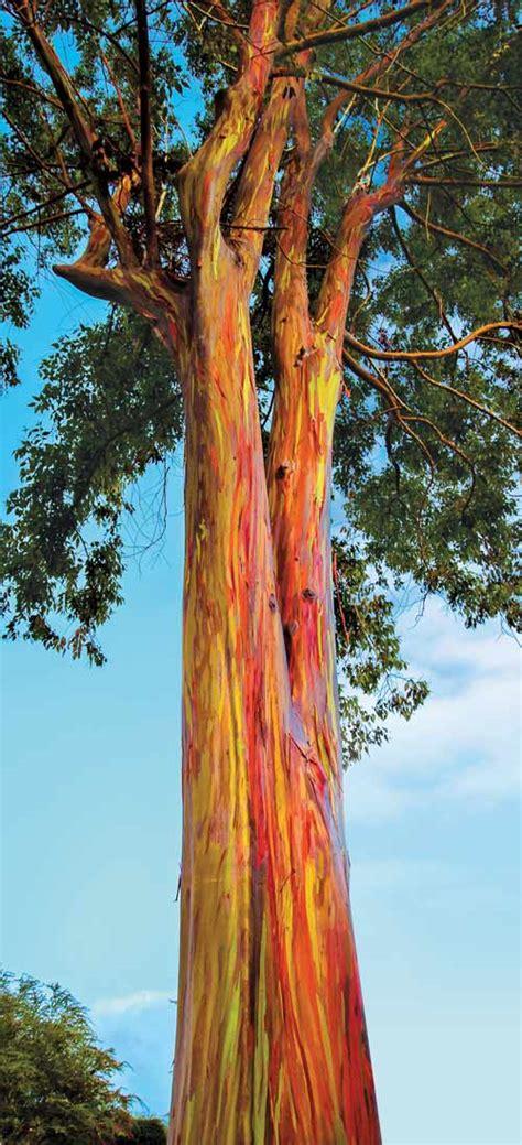 kids club nature activity rainbow eucalyptus tree