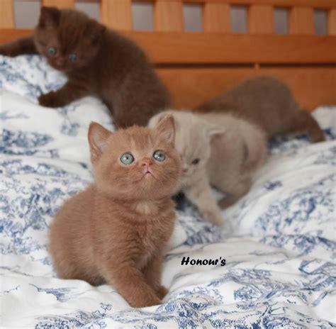 Search For Katz shorthair cinnamon kittens search cat
