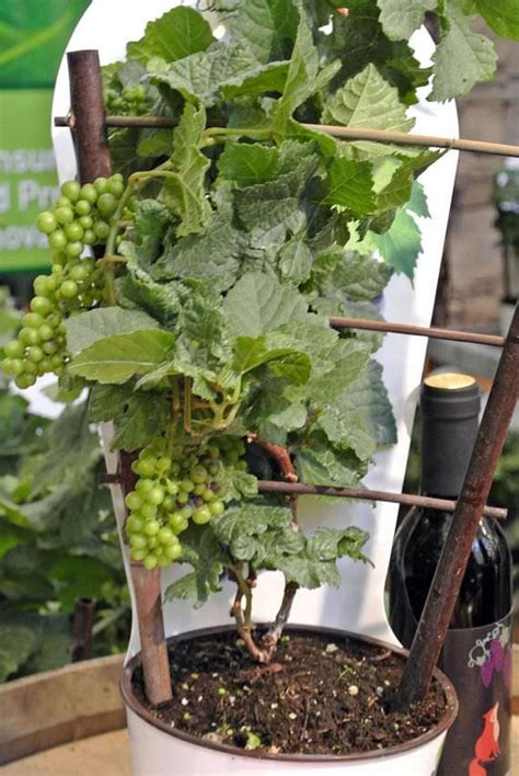 how do grape vines grow growing grapes in containers how to grow grapes in pots care balcony garden web