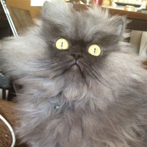 colonel meow   worlds angriest cat  pics