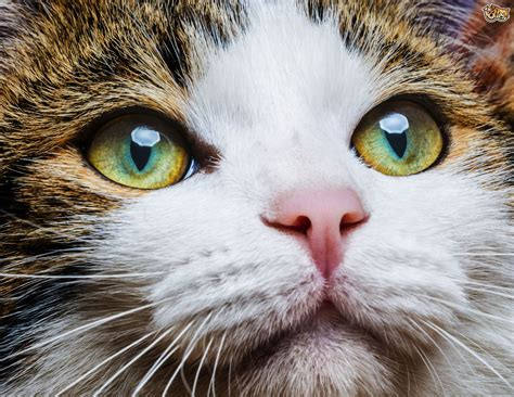 cats eyes glow dark why really pets4homes