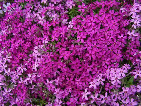 creeping flowers groundcovers creeping phlox rdhlandscape