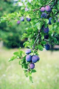 Giftpflanze Mit Stacheliger Frucht : pflaumenbaum zweig mit blauen pflaume frucht stockfoto colourbox ~ Eleganceandgraceweddings.com Haus und Dekorationen