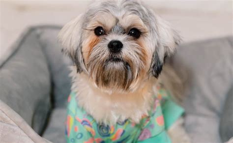 shih tzu shedding maltese shih tzu malshi 12 surprising facts you should