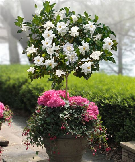 gardenia in a pot how to make a small fragrant garden fragrant plants for containers