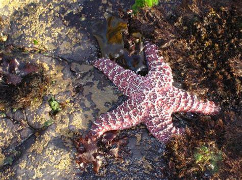 gambar gambar bintang laut wallpaper