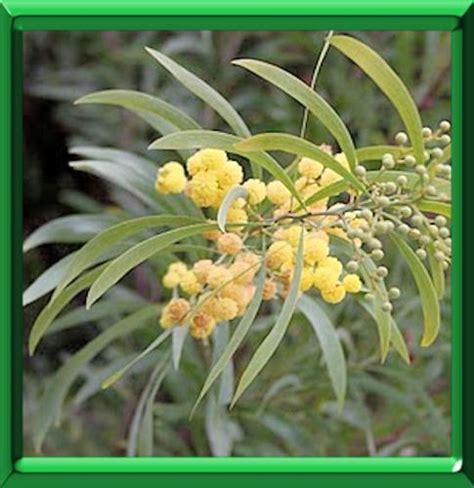 mimosa des quatre saisons ou acacia retinodes fiche