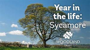 A Year In The Life Of A Sycamore Tree