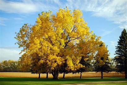 Walnut Trees Tree Plant Should Why