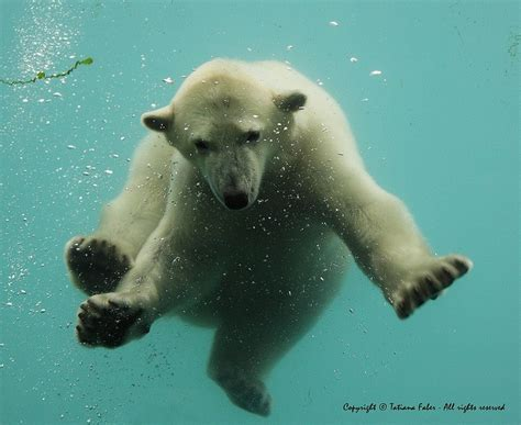 1000+ Images About Polar Bears For Lynsey On Pinterest