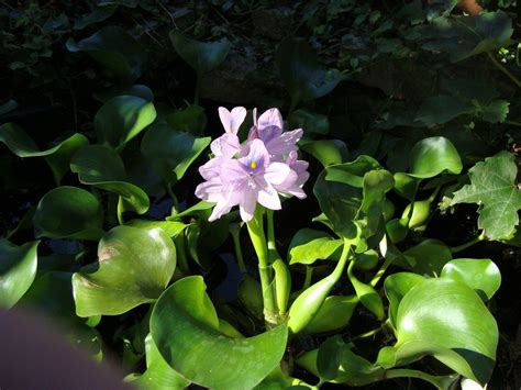 water garden plants floating pond plants how to use floating plants for ponds