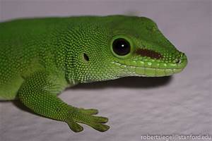 Baby Giant Day Gecko
