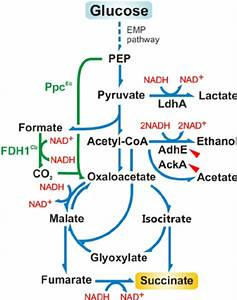 Diagram Of The Main Metabolic Pathways Leading To