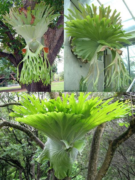 stag horn  elk horn fern save  green