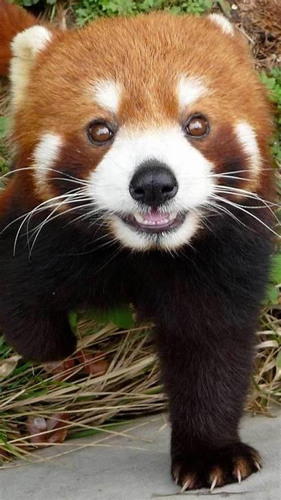 Iphone Panda Wallpapers Animal Cartoon Phone Animals