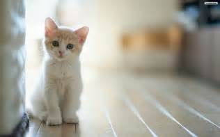 baby cats youwall lovely baby cat wallpaper wallpaper wallpapers